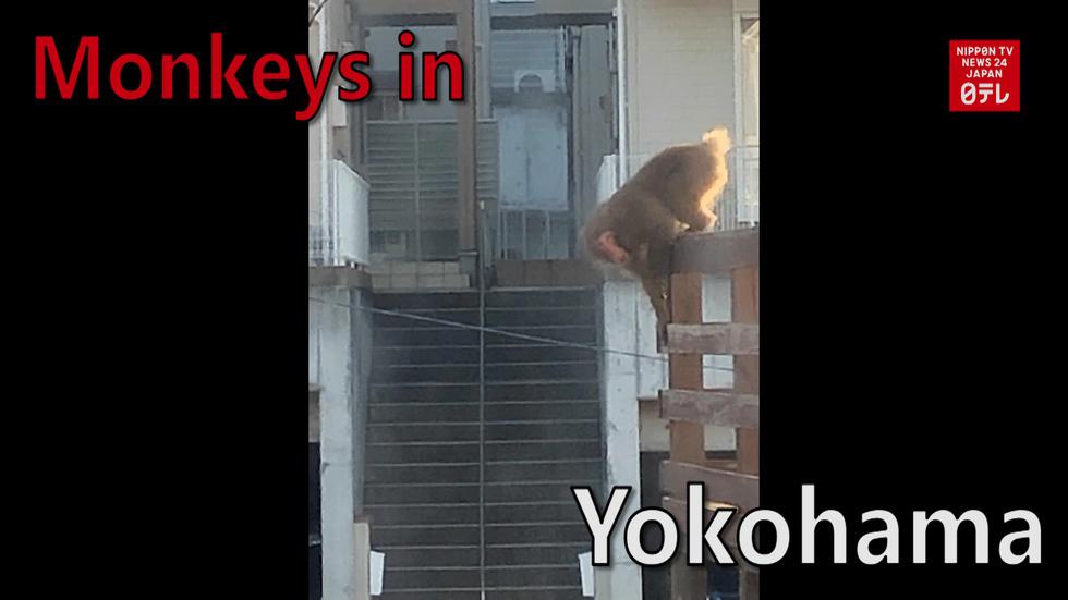 Monkeys run wild in Yokohama