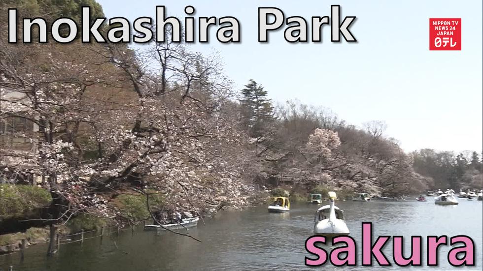 Tokyo hanami: Inokashira Park