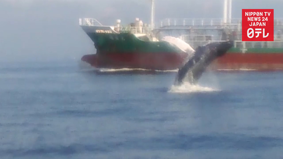 Whale sighted in Tokyo Bay