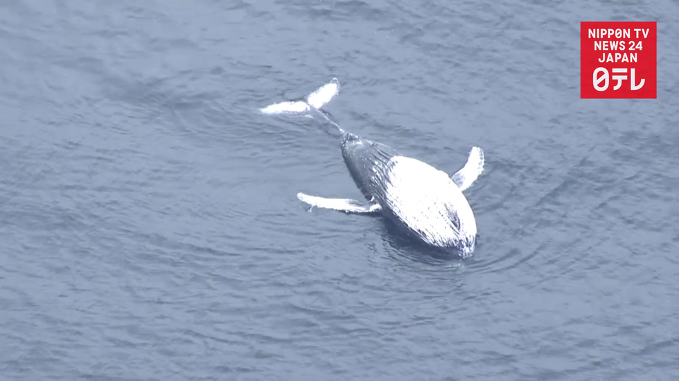 Dead whale found off eastern Japan