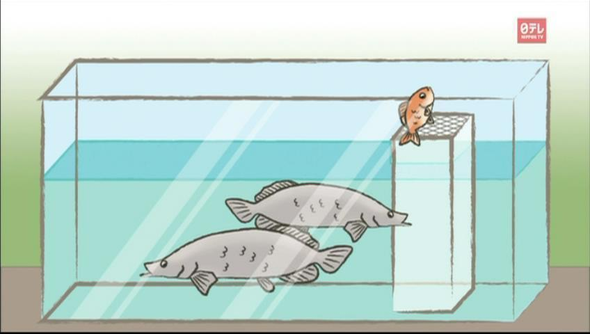 Gold fish, big leap