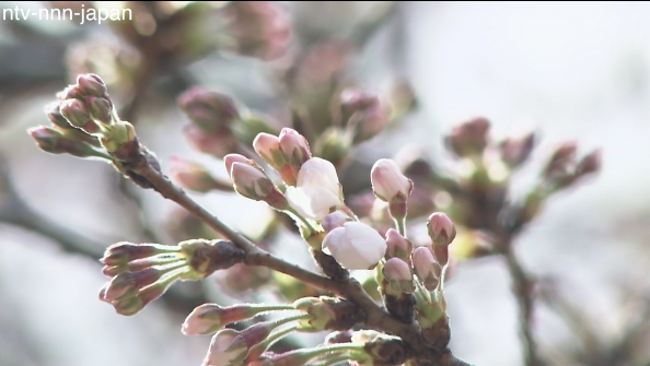 Tokyo cherry blossoms officially in bloom