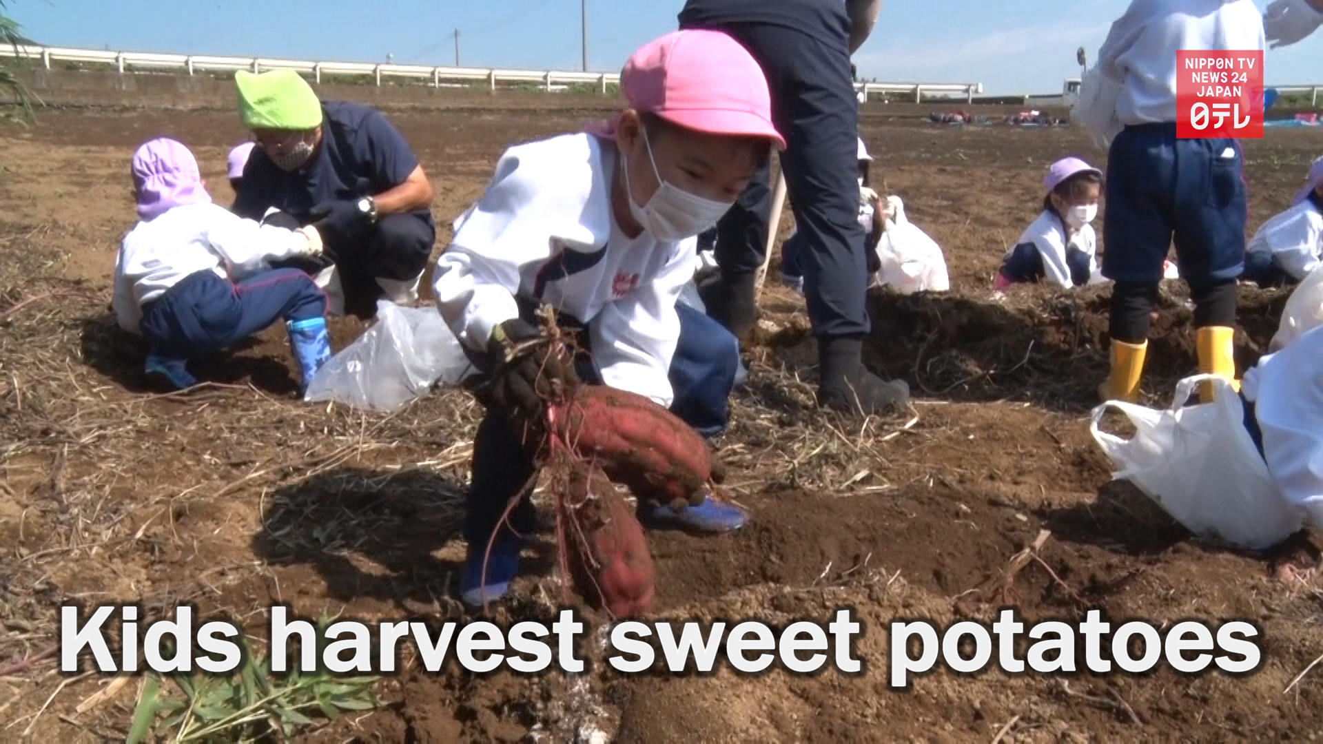 Kindergarteners harvest sweet potatoes