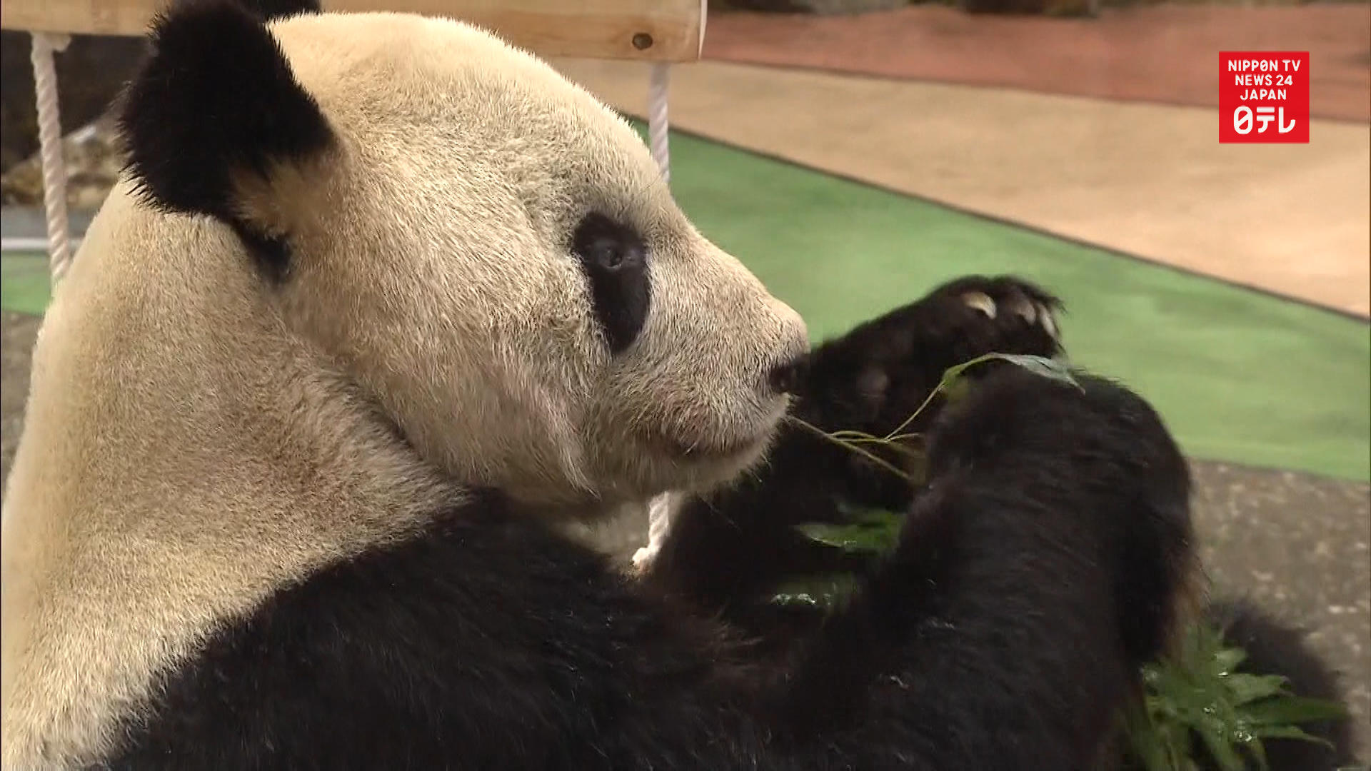 Valentine's Day for father panda