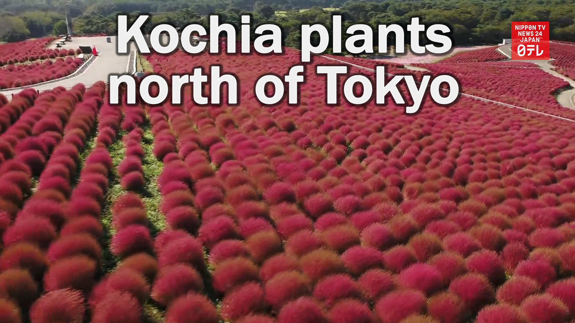 Kochia plants turn red north of Tokyo
