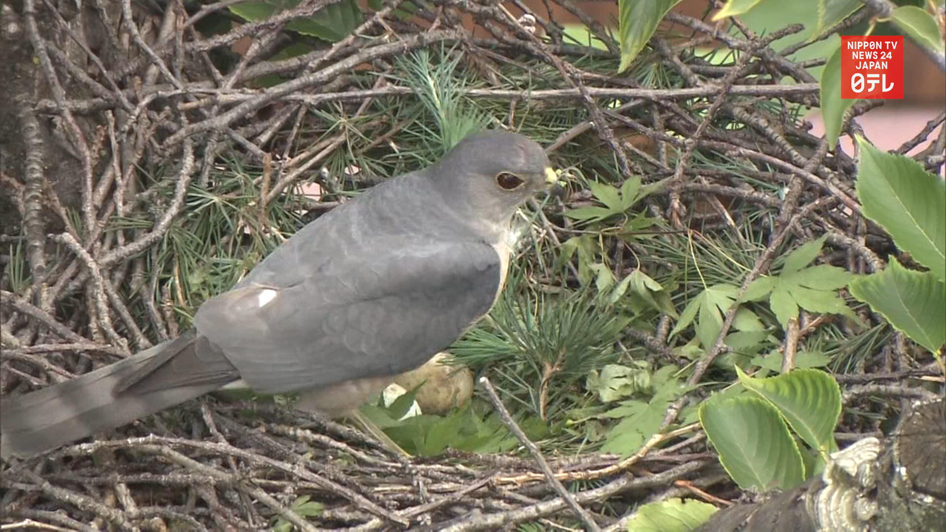 Japanese sparrow hawk lays eggs in a tree of dormant Tokyo school ground