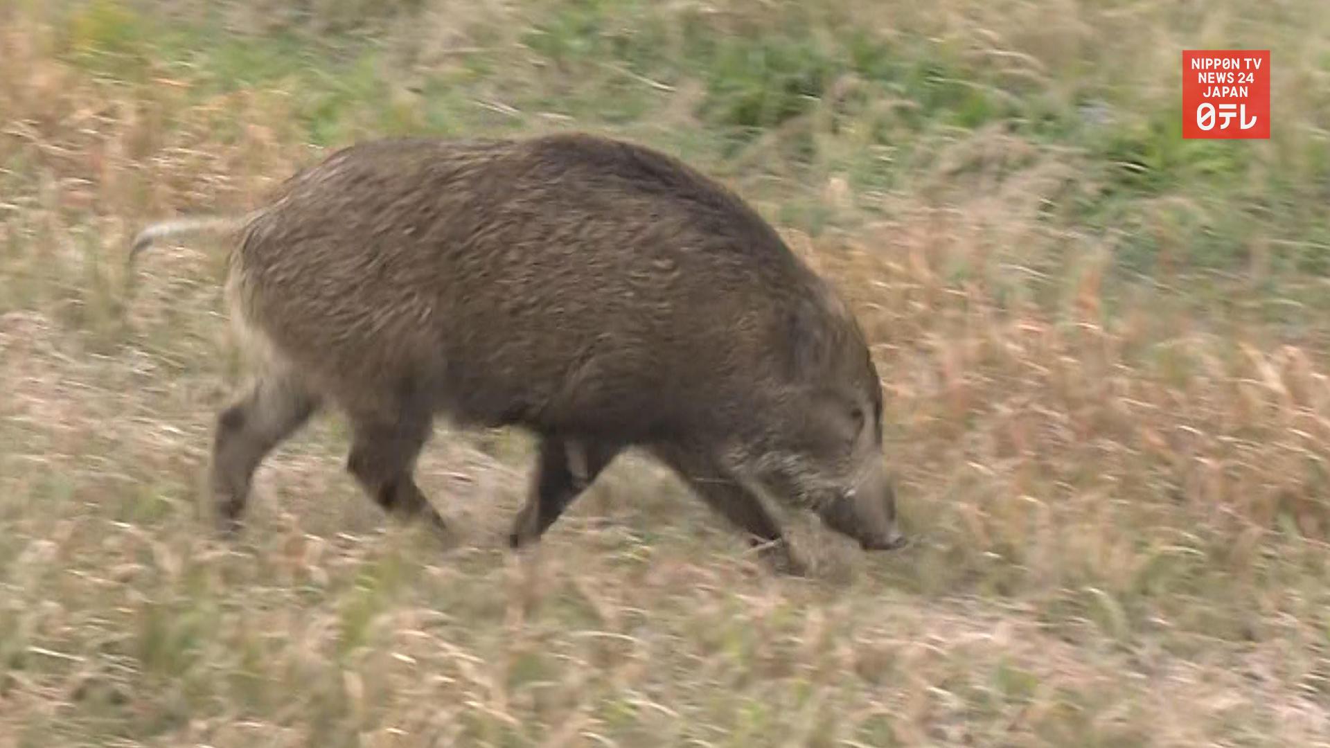 Wild boars loose in Tokyo and Saitama
