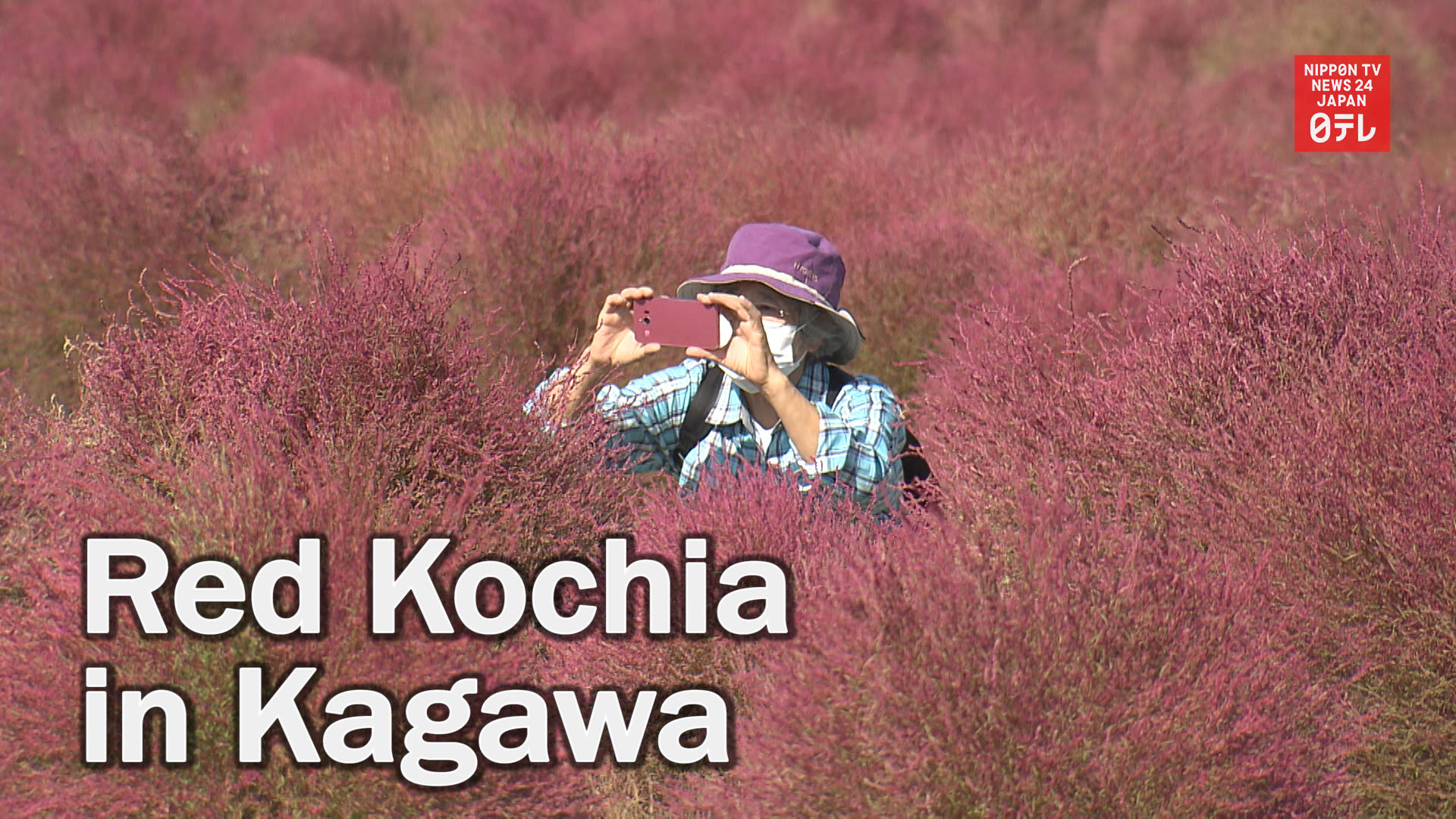 Red kochia leaves attract visitors in western Japan