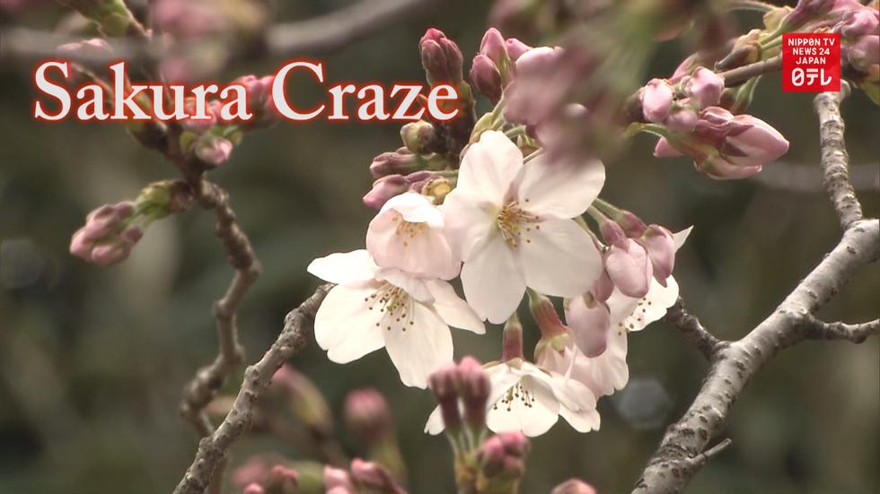 Sakura craze starts in Tokyo