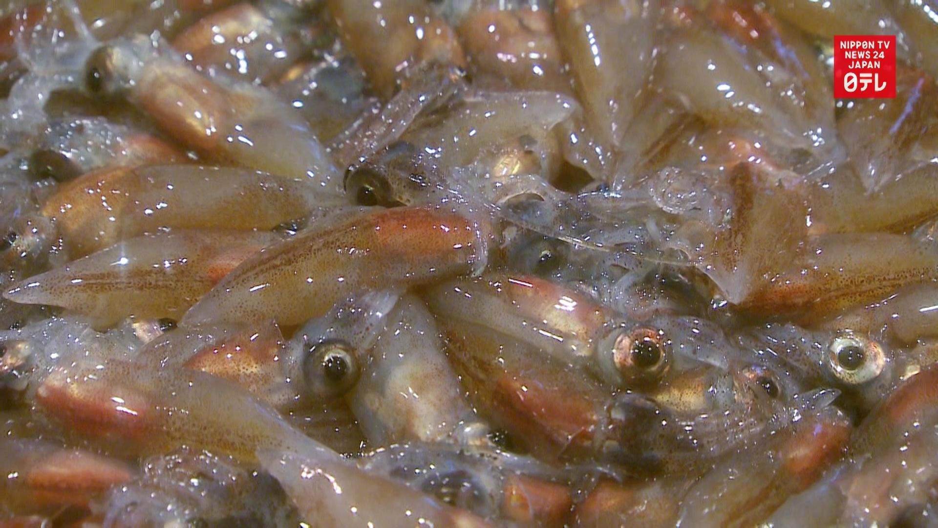Firefly squid haul on Toyama Bay