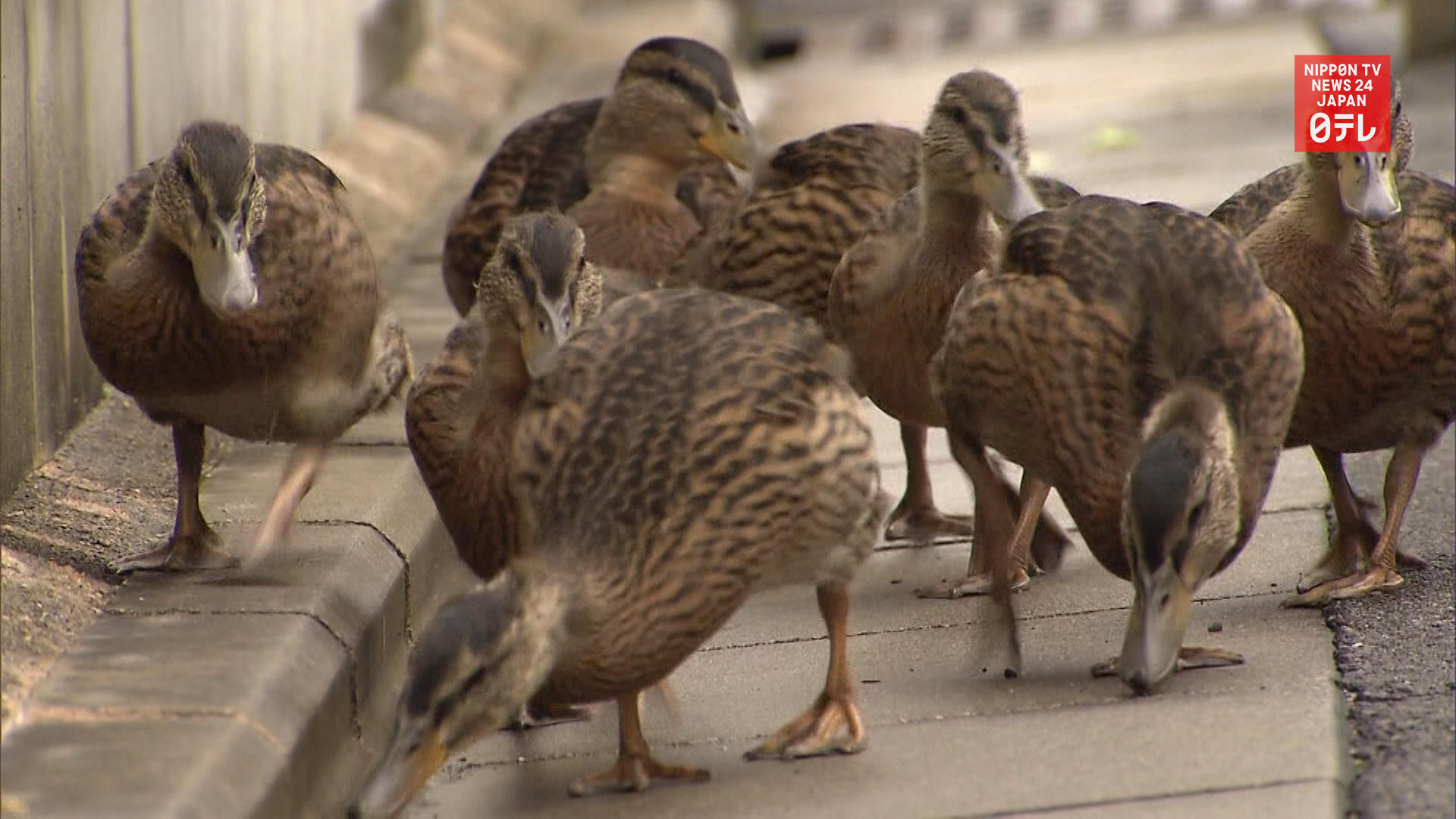 Ducklings move from temple to river in Kyoto
