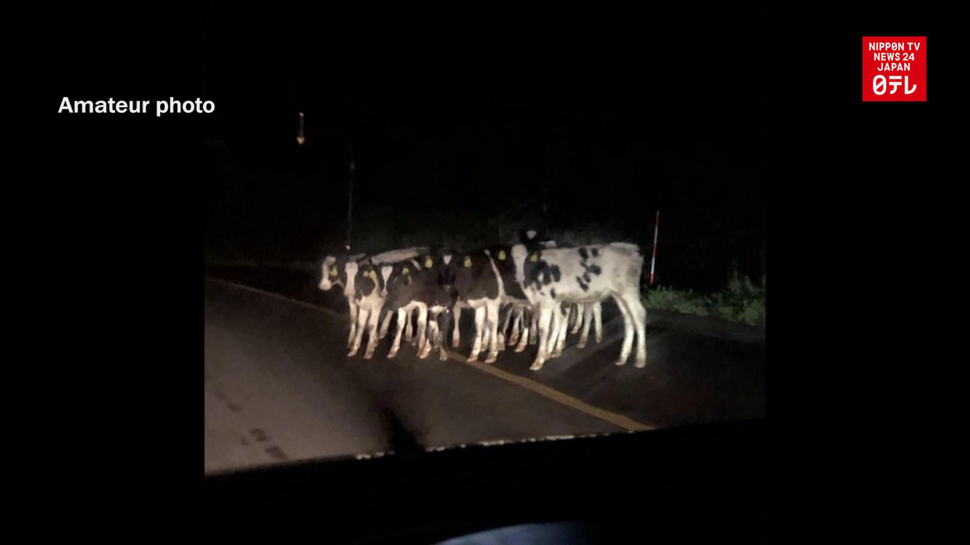 Cows escape from Hokkaido ranch