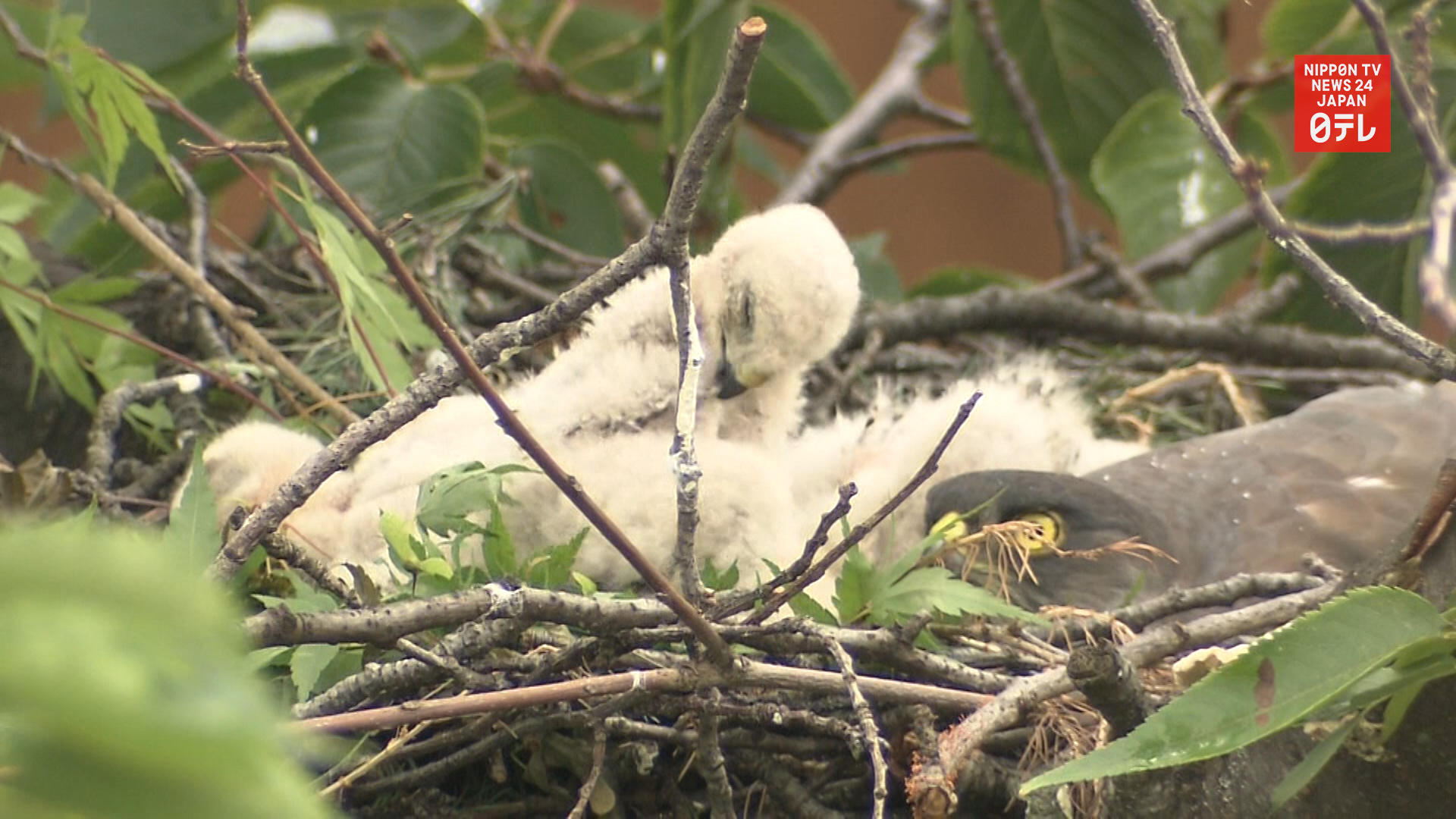 Sparrowhawk chicks brighten mood at elementary school