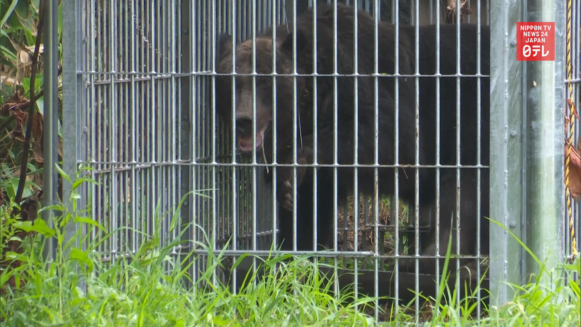 Bear caught in Hokkaido