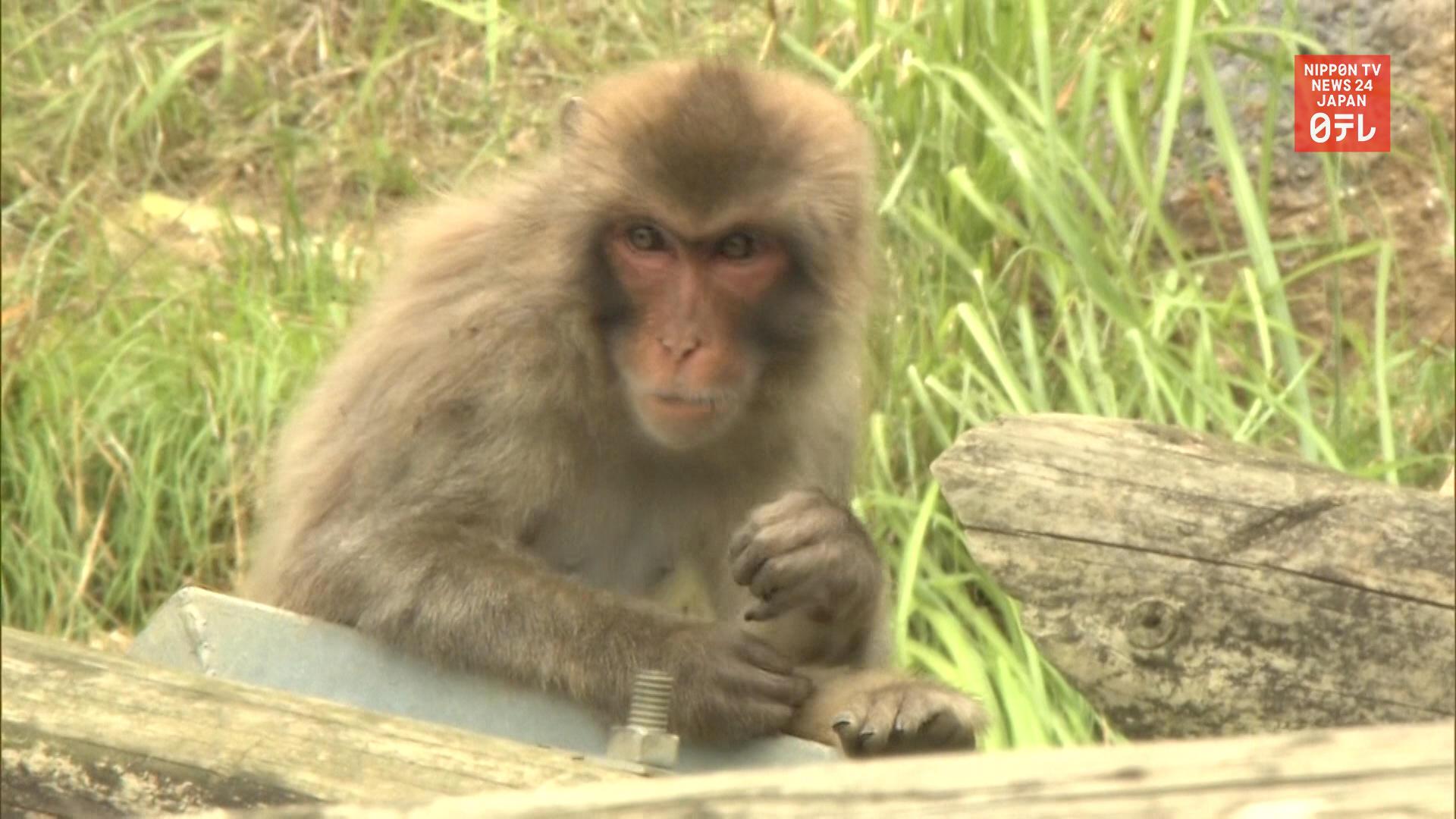 70 monkeys escape their pen again