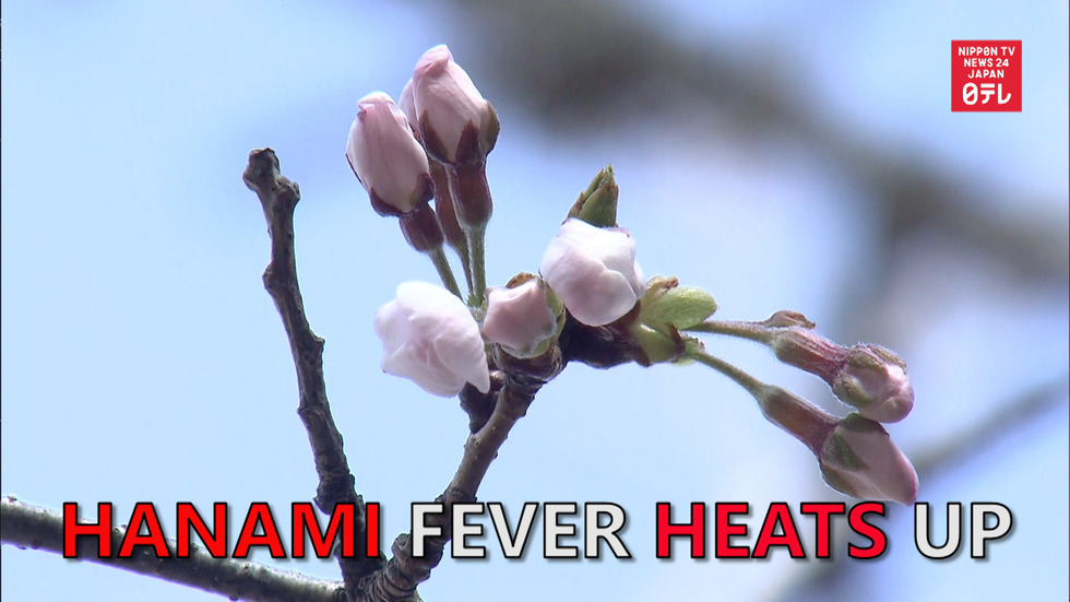 Cherry-blossom fever heats up