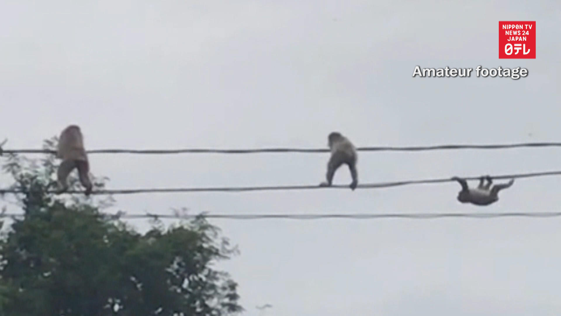 Monkey high-wire act
