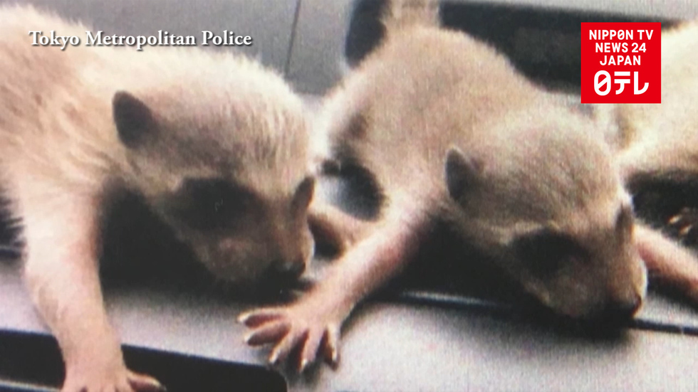Osaka woman admits releasing raccoons