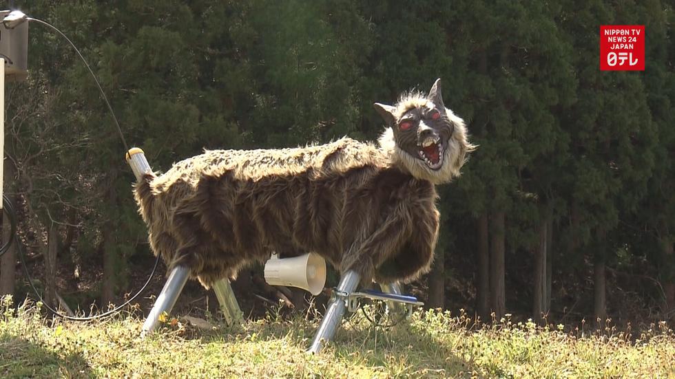 Farmers cry wolf