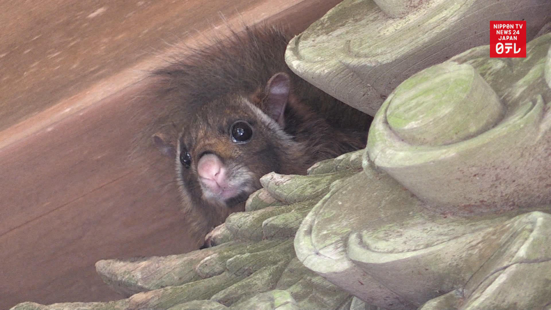Flying squirrel nests in temple
