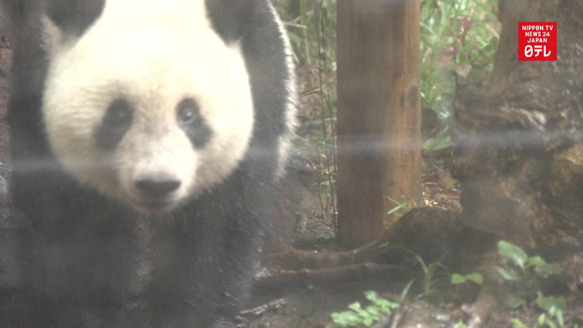 Giant panda Shan Shan turns 2