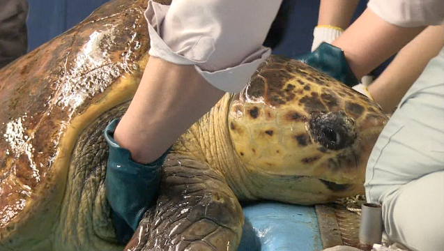 Japan's oldest sea turtle on the mend