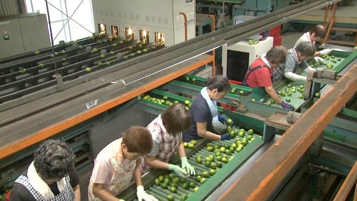 Mikan harvest in full swing