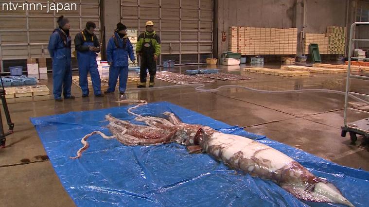 Giant squid swims into fishermen's net