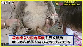 ズキンアザラシ 赤ちゃん